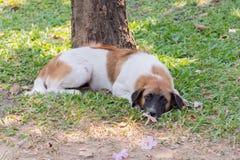 Thai stray dog Royalty Free Stock Photo