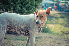Thai stray dog Royalty Free Stock Photo