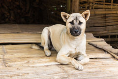 Thai Stray dog on cottage Stock Photo