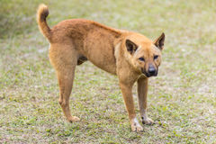 thai stray dog in grass Stock Images
