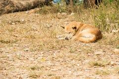 Thai stray dog lying on dirty sandy floor Royalty Free Stock Image