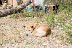 Thai stray dog lying on dirty sandy floor Royalty Free Stock Images