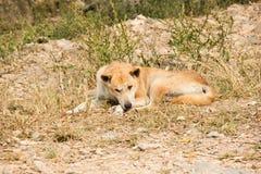 Thai stray dog lying on dirty sandy floor Stock Image