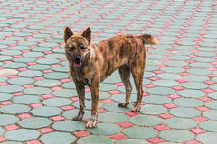 Thai Stray dog Stock Image