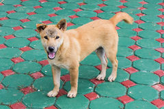 Thai Stray dog Stock Photo