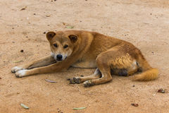 Thai Stray dog Royalty Free Stock Images