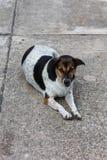 Thai Stray dog on the road Royalty Free Stock Photos