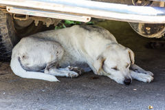 Thai Stray Dog Sleep Stock Photography