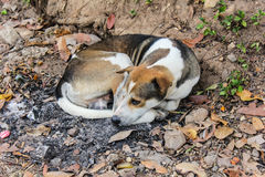 Thai Stray Dog Sleep Stock Photos