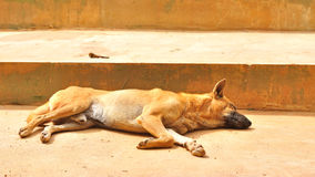 Thai stray dog sleeping on cement floor Royalty Free Stock Image