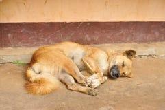 Thai stray dog sleeping Stock Photo
