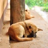 Thai stray dog sleeping Stock Images