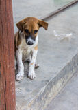 Thai Stray Puppy Dog Royalty Free Stock Images