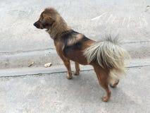 Thai street Dog . Stock Photography