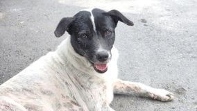 Thai street dog black and white looking to camera Stock Photo