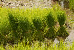 Thai style rice growth Royalty Free Stock Photos