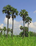 thai sugar palm tree Stock Photo