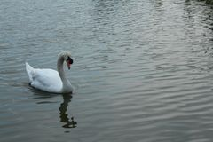 Swan in the pool stock image