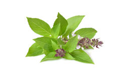 Thai sweet basil. On white background - isolated stock photos
