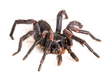 Thai Tarantula (Haplopelma albostriatum) Royalty Free Stock Image