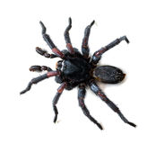 Thai Tarantula on white background Royalty Free Stock Images