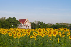 Thai temple in sunflower field Stock Photography