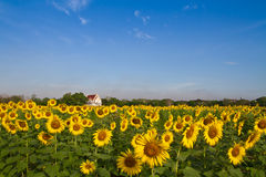 Thai temple in sunflower field Royalty Free Stock Photography