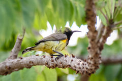 Sunbird bird Stock Images