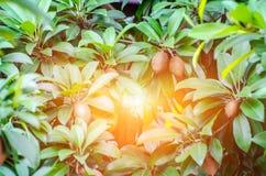 Thai tender fruit stock photography