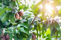 Thai tender fruit stock photos