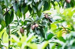 Thai tender fruit royalty free stock photo