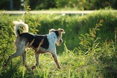 Thai terwijl en zwarte hond die zich op een grasgebied bevinden | Thaise hond royalty-vrije stock foto's