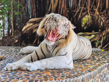 Thai Tiger. A  Thai tiger lying on rocks and roars Stock Photos