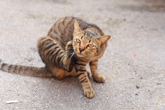 Thai tiger stray cat Stock Photography