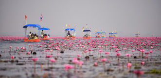 Thai tourist take boat visiting sea of red water lily Royalty Free Stock Images