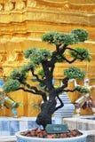thai tree för bonsai Arkivfoto