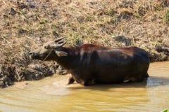 thai vatten för buffel Arkivfoton
