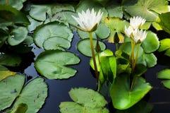 thai vatten för härlig ny trädgårds- lotusblomma Royaltyfri Bild