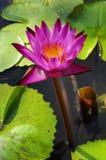 thai vatten för härlig ny trädgårds- lotusblomma Fotografering för Bildbyråer