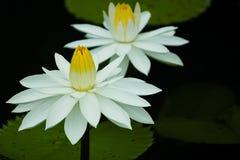 thai vattenwhite för härlig ny trädgårds- lotusblomma Arkivfoto