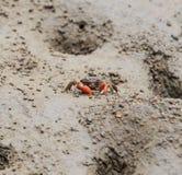 Thai venegar crab in a mangrove forest Royalty Free Stock Image