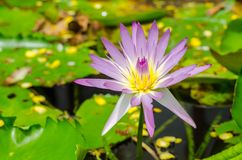 Thai violet lotus Stock Photography