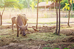 Thai water buffalo Royalty Free Stock Photography