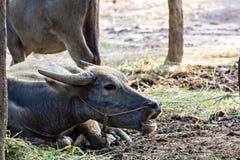 Thai water buffalo Stock Photography