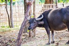 Thai water buffalo Stock Photo