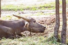 Thai water buffalo head shot Royalty Free Stock Photos