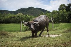 Thai Water Buffalo playing in a puddle Stock Image