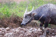 Thai water buffalo walking Stock Photo