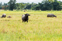 Thai water buffaloes Royalty Free Stock Photography