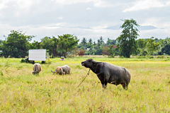 Thai water buffaloes Stock Image